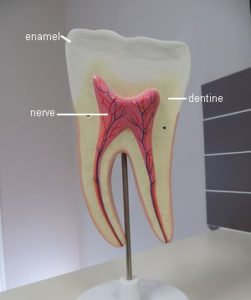 tooth enamel dentine nerve roots anatomy